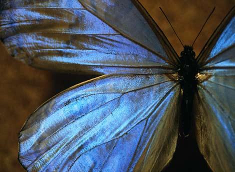 blue-morpho-butterfly-518617-ga.jpg